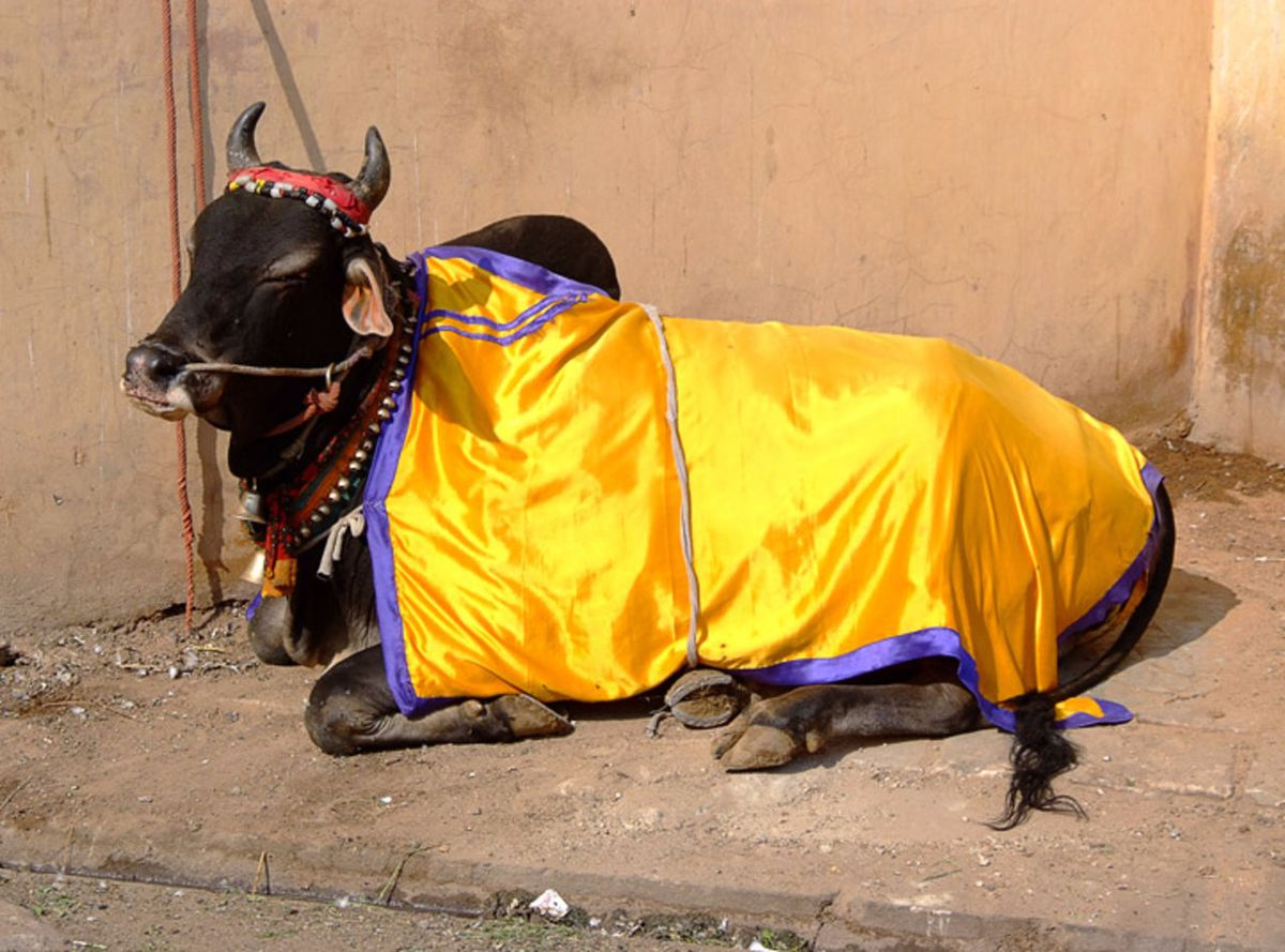 Коровы как священные животные в индуизме